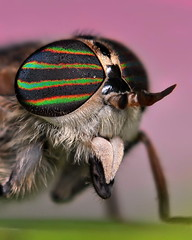 Horse Fly Portrait (VonShawn) Tags: horse macro nature closeup insect fly nikon focus wildlife horsefly flyinginsect focusstack nikond90 zerenestacker