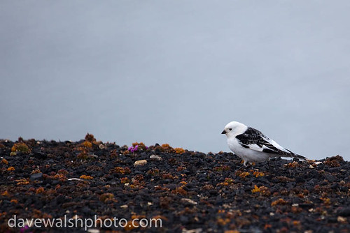 Male snow bunting, Plectrophenax nivalis