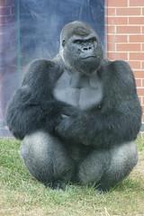 Oumbie - Western Lowland Gorilla (tim ellis) Tags: uk animal gorilla ape photofriday primate silverback twycross twycrosszoo westernlowlandgorilla gorillagorilla gorillagorillagorilla oumbie msh0216 msh021612