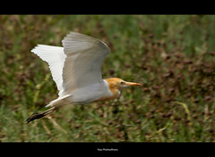 Bird In Flight.. (Vijay..) Tags: vijay bird nature canon zoom handheld 309 bif xsi cattleegret birdinflight 70300 explored 450d phulwadhawa