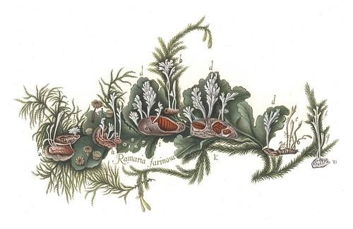 Ramaria farinosa (Paecilomyces farinosus)