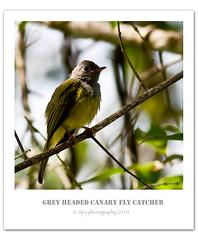 Grey-Headed-Canary-Fly-Catcher (Diji's Photography) Tags: nature closeup canon kerala dslr munnar dfc chinar diji greyheadedcanaryflycatcher 400d canon400d mg0124 dijisphotography dijisphotograph2010