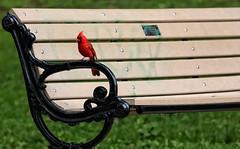 Have a Seat (DarkElfPhoto) Tags: urban toronto bird canon bench eos rebel graffiti 300d highpark cardinal wildlife dailyshoot ds207