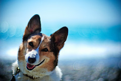 weekend! (moaan) Tags: ocean blue light sea dog sunlight color beach smile sunshine smiling digital 50mm corgi dof shine bokeh ripple wave f10 pacificocean utata noctilux talking welshcorgi hue 2010   talkingtome rd1s shoreofthesea pochiko epsonrd1s leicanoctilux50mmf10  whereshallwegotomorrow gettyimagesjapanq1 gettyimagesjapanq2
