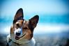 weekend! (moaan) Tags: ocean blue light sea dog sunlight color beach smile sunshine smiling digital 50mm corgi dof shine bokeh ripple wave f10 pacificocean utata noctilux talking welshcorgi hue 2010 四国 徳島 talkingtome rd1s shoreofthesea pochiko epsonrd1s leicanoctilux50mmf10 日和佐 whereshallwegotomorrow gettyimagesjapanq1 gettyimagesjapanq2