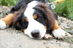 "Miruku ""Tired of walking"" (Takashi(aes256)) Tags: dog bernesemountaindog sigma30mmf14exdchsm miruku sweetdogs  canoneos7d"