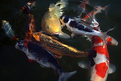 Koi's (Audiotribe) Tags: orange fish color colour canon koi carp fisk karpfen samsø koicarp karpe sooc 400d colourartaward strandlyst