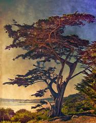 Carmel Tree (Artypixall) Tags: california tree texture pacificocean carmel getty cypresstrees faa