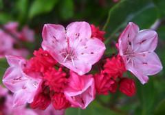 Eye-Catcher (FernShade) Tags: pink red canada flower vancouver petals flora britishcolumbia azalea shrub hybrid