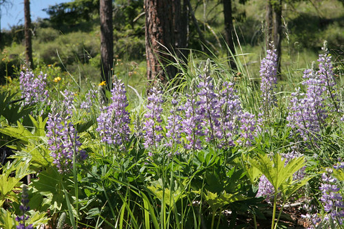 Lupine along Tamarack Ridge Road - Taneum