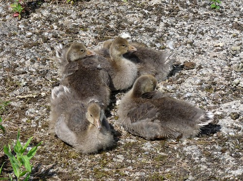 21944 - Greylag Goslings at WWT