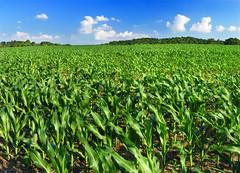 [フリー画像] 自然・風景, 田畑・農場, トウモロコシ, グリーン, アメリカ合衆国, ペンシルベニア州, 201006241900
