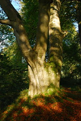 Ancient Beech tree near Gilnockie Castle