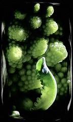 romanesco (vernon.hyde) Tags: macro closeup photomanipulation romanesco brassicaoleracea romanescocauliflower romanescobroccoli romancauliflower