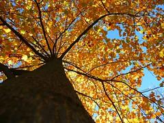 Piece Of Mind (Atreides59) Tags: arbre tree nature jaune yellow ciel sky feuilles automne autumn fall atreides atreides59 justnature flickraward