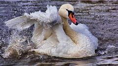 swan splashy detail edit (LHG Creative Photography) Tags: water swan flapping mute wwt slimbridge splashing