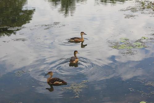 Pretty Ducks