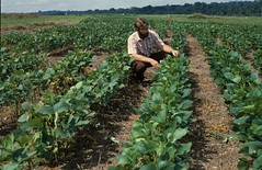 Researcher examines soybean plants