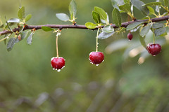 Summer Feelings (Alexandra Horvath) Tags: summer nature outdoor plant branch tree cherry hungary nikon nikond3200 yongnuo garden raindrop rain waterdrop fruit light