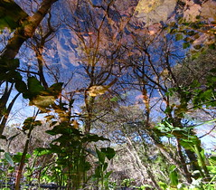 My Camera is Tripping (andressolo) Tags: reflection reflections reflected reflect reflejos reflejo water pond stream agua trees tree plants nature distortions distortion distorted colours colour color galicia