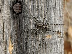 D3X_0321_fl (dmitrytsaritsyn) Tags: spider macro nikon d3x 105mm r1c1 insect