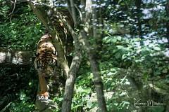 Sumatran Tiger (Karen Miller Photography) Tags: edinburghzoo zoo captivity captive edinburgh tiger sumatrantiger cat endangered animal nikon rzss scotland enclosures karenmillerphotography