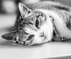 candy (ChicqueeCat) Tags: pets animal blackandwhiteportraitnikond3300