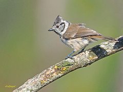 Herrerillo capuchino (Lophophanes cristatus) (9) (eb3alfmiguel) Tags: aves pajáros insectívoros passeriformes paridae herrerillocapuchino