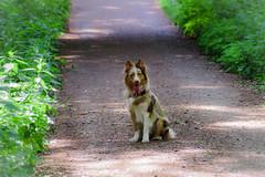 I'm waiting (Bom-he) Tags: luna dog hund looking wald forest path way weg pfad aussie australianshepherd hütehund hecheln zunge animal tier