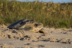 Nesting Completed - Green Sea Turtle (dubrick321) Tags: archiecarrnationalwildliferefuge greenseaturtle reptiles seaturtle brevardcountyfl cheloniamydas beaches beachesinflorida nestingseaturtle