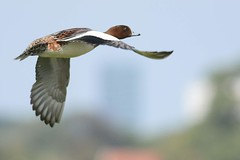 HNS_8632 Smient mn : Canard siffleur : Anas penelope : Pfeifente : European Wigeon