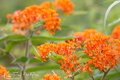 Kristen Martyn- Butterfly Weed, 20170630 (13) (KristenMartyn) Tags: flower nativeplants gardening garden indoorplants plants flora ontario outdoor tour tours wildflower wildflowers nativeplant butterflyweed milkweed asclepiastuberosa butterfly