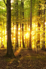 Light leaking through the trees (johaennesy) Tags: trees forest sunset warm vertical lines opensourcesoftware pentax k1 markdorf rawtherapee gimp