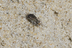 Nauset Beach Tiger Beetle (brucetopher) Tags: tiger beetle tigerbeetle bug insect six legs beach creature crawl hunter sand hairy cicindela beachtigerbeetle critter tiny beauty beautiful pattern elytra maculations shell camouflage fast elusive animal outdoor