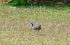 White-Breasted waterhen {amaurornis phoenicurus}