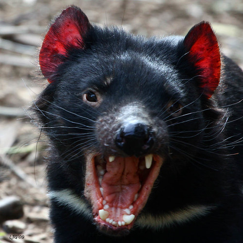 Tasmanian #2