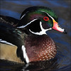 ~ New Pond Visitor ~ (ViaMoi) Tags: winter wild canada color bird nature duck wildlife ottawa waterfowl avian woodduck naturalist viamoi