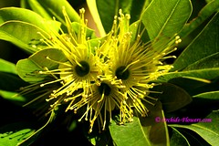 Xanthostemon chrysanthus Golden Penda (thaieyes) Tags: flowers yellow thailand golden myrtaceae goldenpenda xanthostemonchrysanthus tropicaltrees xanthostemon australianrainforestplants wonderfulworldofflowers yellowpenda qrfp botanyflora arfflowers