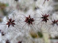 Clematis Seeds (prima seadiva) Tags: closeup canon weed clematis vine botanicals invasive g9