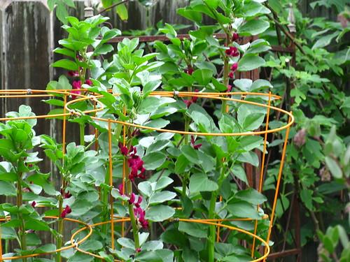 Crimson flowering fava