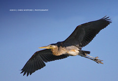 Great Blue Heron (Chris Wofford) Tags: blue chris wild sky cold bird heron nature beautiful beauty birds animal canon flying interestingness fantastic wings natural dam wildlife great flight pa majestic mothernature greatblueheron 2010 feathery conowingo wofford 100400 alemdagqualityonlyclub chriswofford