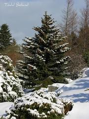 A Newfoundland Winter Day (Todd Boland) Tags: winter snow newfoundland spruce