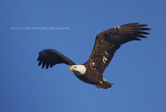 Flying High (Chris Wofford) Tags: blue wild bird nature beautiful beauty birds animal america canon flying interestingness fantastic wings md natural eagle dam wildlife tail flight baldeagle bald pa american l usm majestic eagles ef mothernature birdsofprey feathery conowingo wofford 100400 goldstaraward worldofnaturethebest chriswofford