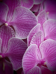 Orchids Like Moths