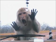 Ah-h-h-h High Five (Heirs with Him) Tags: animals monkey safari sensational arkansas bibleverses