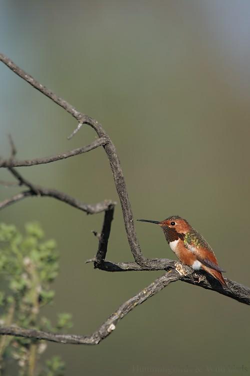 Allen's Hummingbird 01101-107