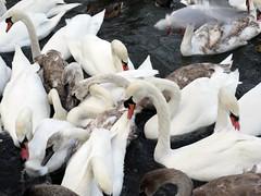 Just Swans (MottoMark) Tags: belfast waterworks