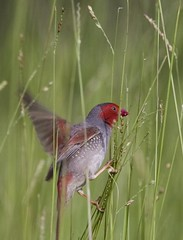 Crimson Finch at Fogg Dam 14 (jonclark2000) Tags: bird nt australia finch northernterritory foggdam crimsonfinch