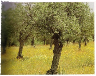 olive trees in meadow (Practical Herb Garden - Jessica Houdret)