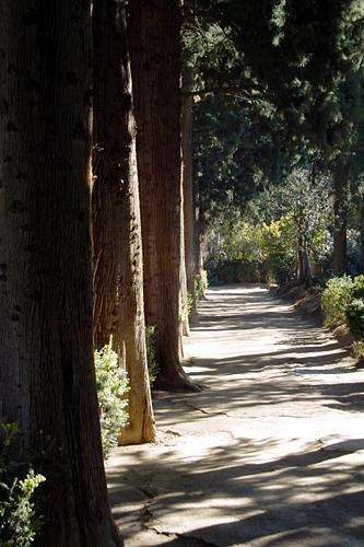 alhambra-pine